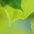 tilia-sp-detail-feuille