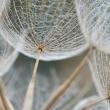 tragopogon-pratensis-1